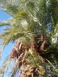 dattier-au-oasis.jpg
